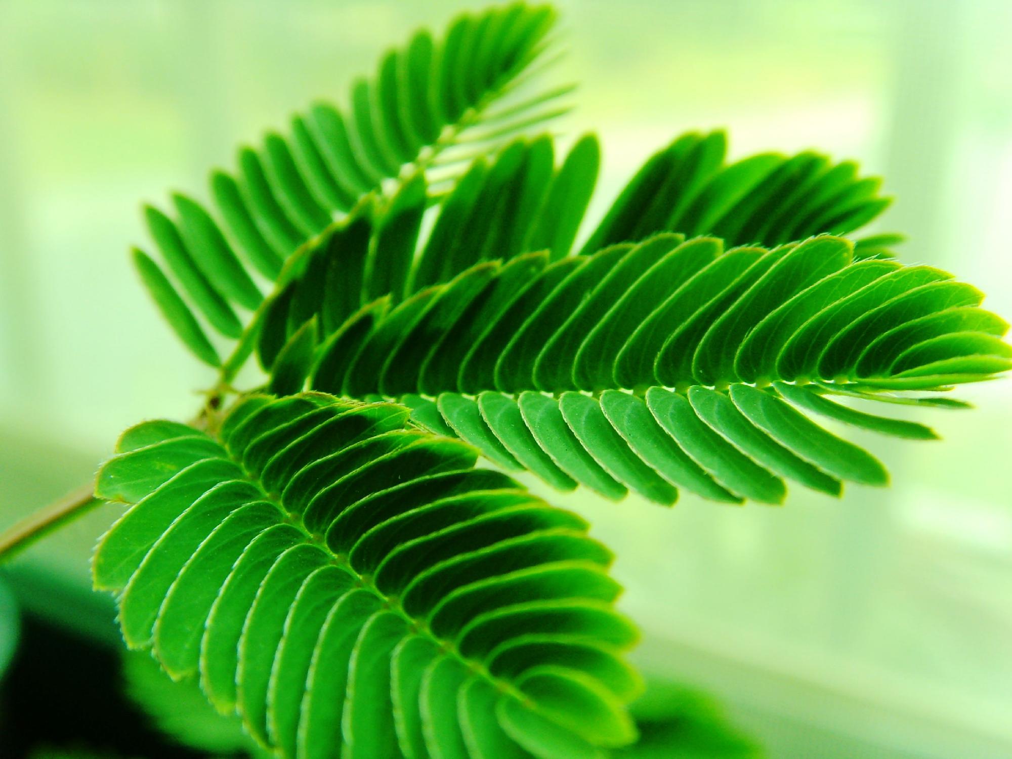 含羞草(豆科含羞草属植物)