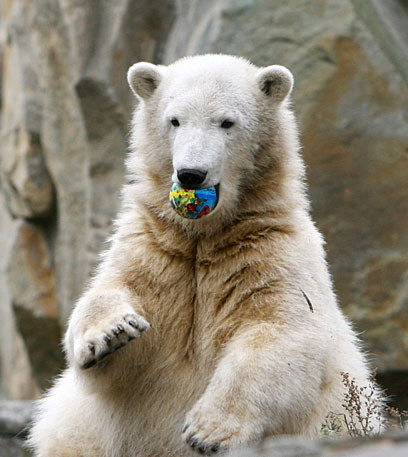 克努特(柏林彭州动物园北极熊)-搜狗恐龙德国门票百科乐园图片
