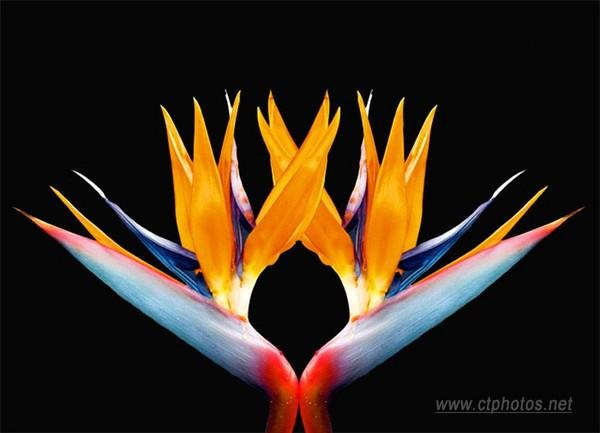 天堂鸟(单子叶植物)