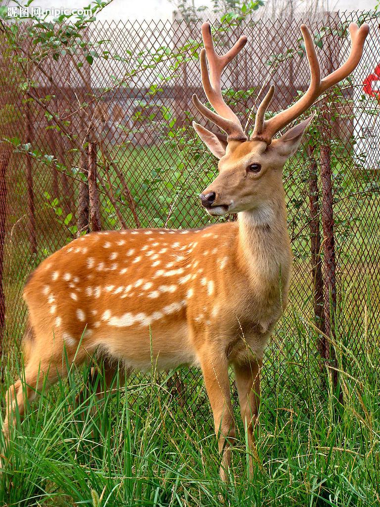 爪哇扁角鹿的简笔画