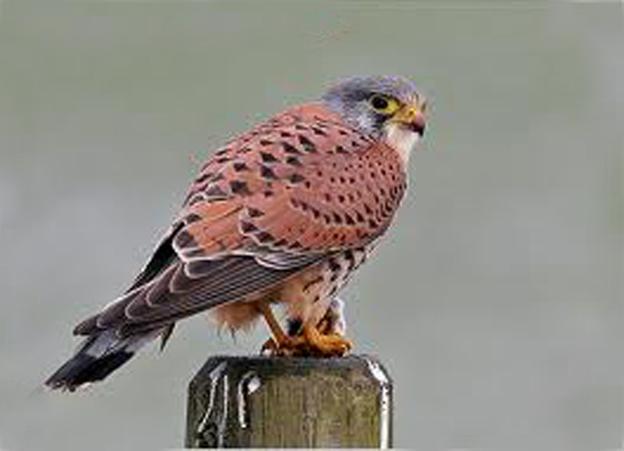 壁纸 动物 鸟 鸟类 雀 桌面 624_451