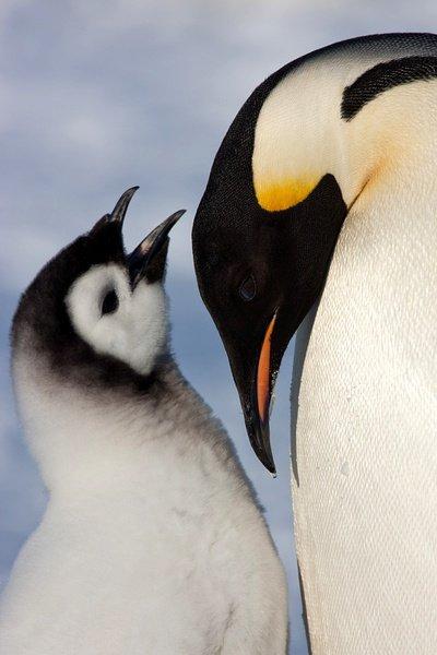 可爱企鹅幼崽图片