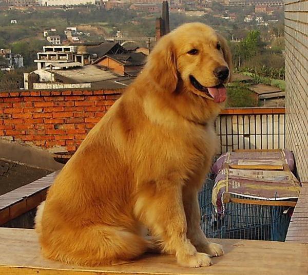 5个月金毛犬图片_五个月的金毛犬吃成年犬粮有影响吗?急-五个月的金毛犬吃成年狗 ...