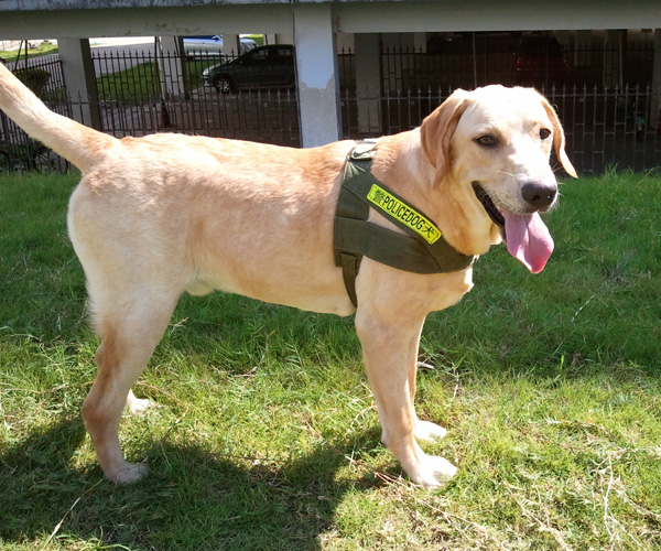 拉布拉多猎犬 [2]是一种结构坚固,中等体型,接合较短的犬种,它健康