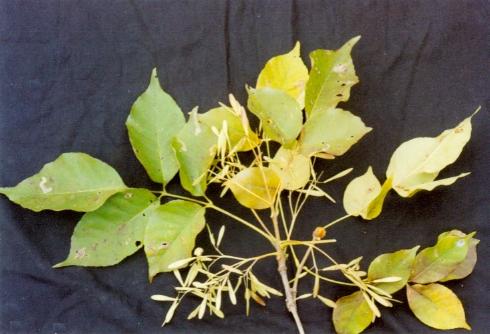 白蜡树(木犀科植物)