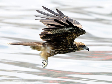鸢(鹰科动物)