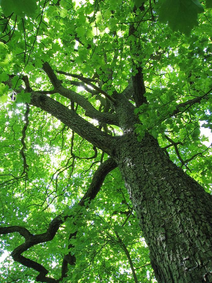 山楂树(落叶乔木植物)