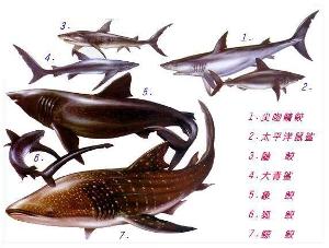 鲨鱼 鱼翅图片_信息提示 - 搜狗百科