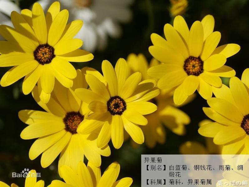 菊の画像 p1_15