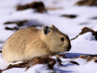 老鼠(啮齿目动物) - 搜狗百科