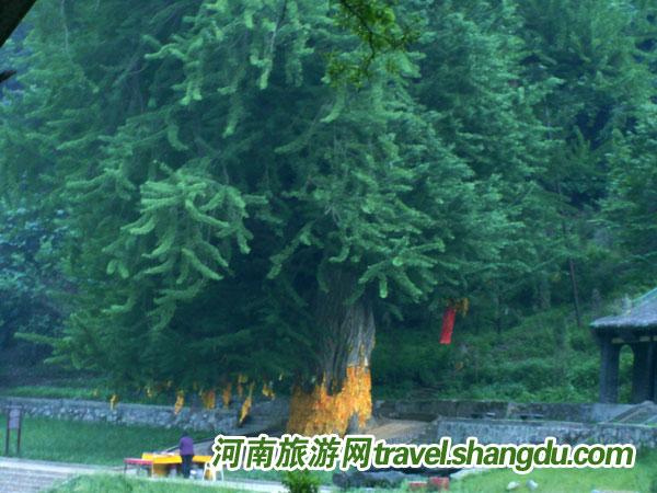 千年银杏树(王屋山千年银杏树) - 搜搜百科