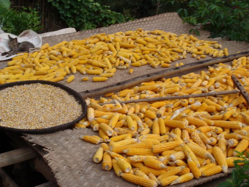 玉米宽面纵切面手绘图