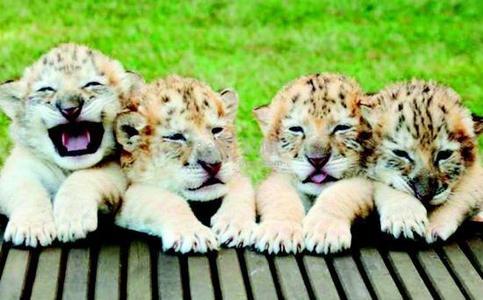 四只可爱的白狮虎兽宝宝由两只白色狮与一只白色虎配种而生.