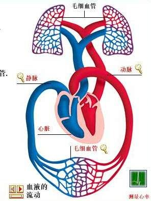 人体血液循环系统示意图