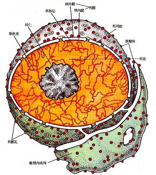 细胞配图最简单手绘