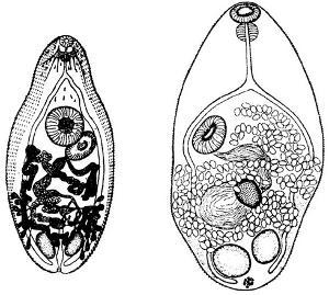 生活史:各种异形吸虫的生活史基本相同,成虫寄生于鸟类及哺乳动物的