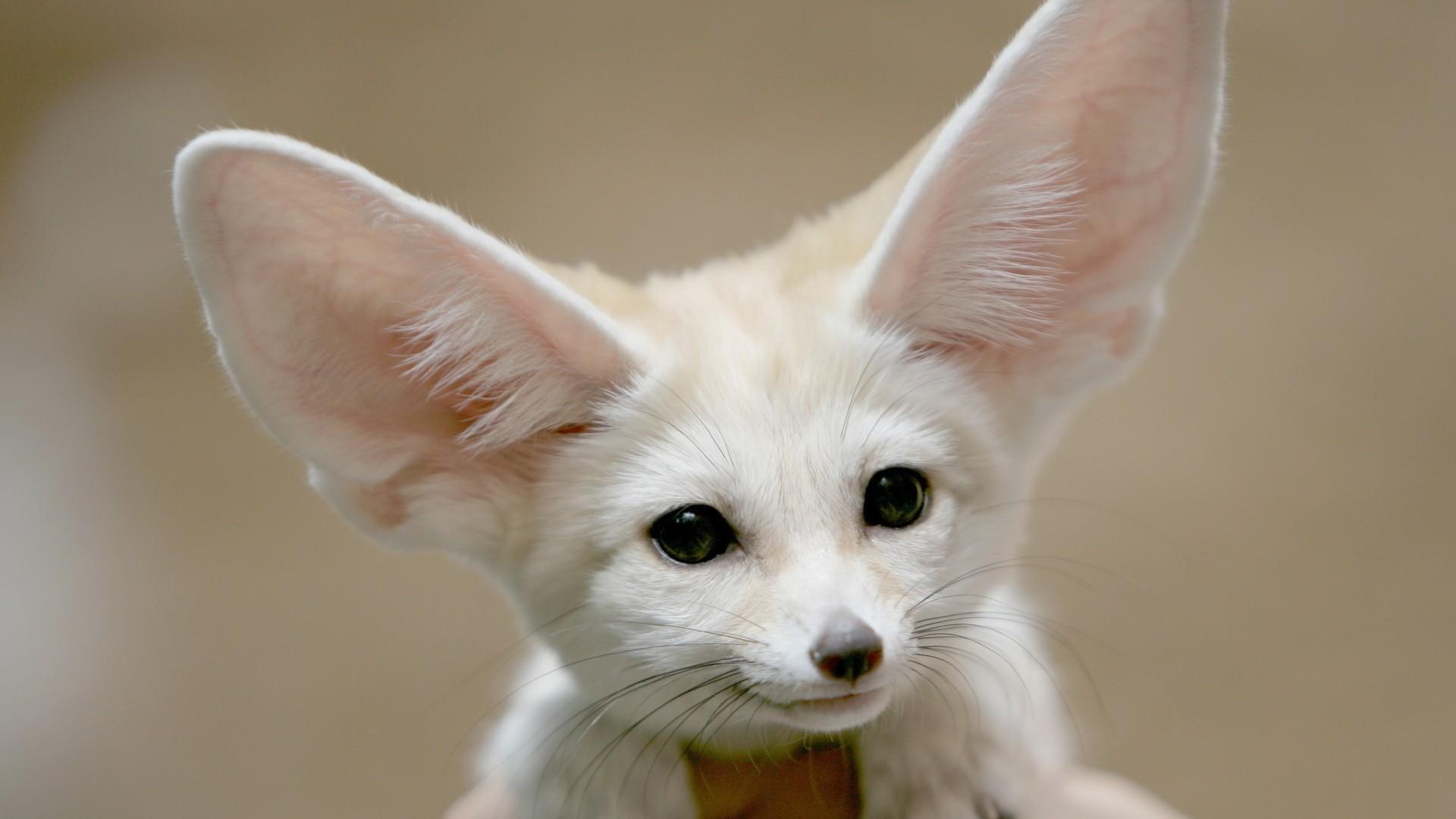 蜥蜴,啮齿类动物和昆虫都是大耳狐的捕猎对象.