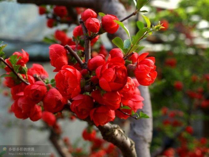 木瓜海棠 - 搜狗百科