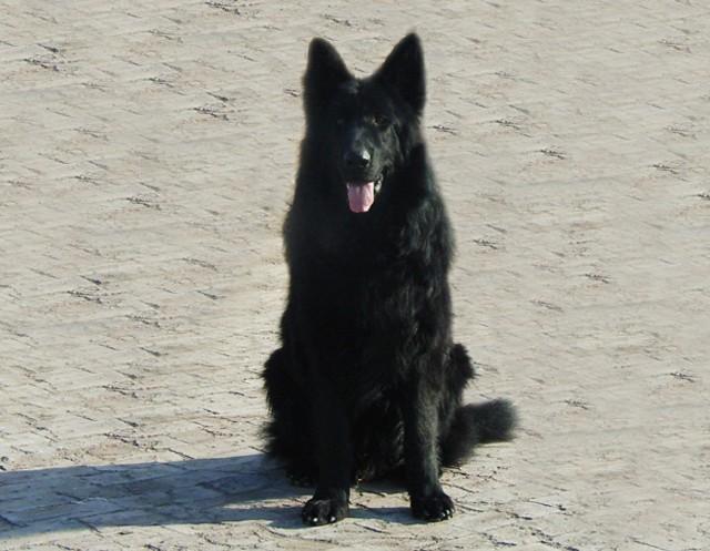 比利时特弗伦牧羊犬_比利时牧羊犬 - 搜狗百科