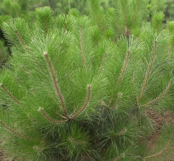 樟子松的树形因生长环境不同而有所不同:生于大兴安岭山区的树木树冠