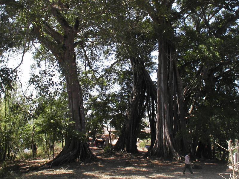 富岩古茶树