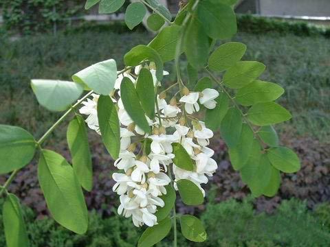 刺槐(豆科植物) - 搜搜百科