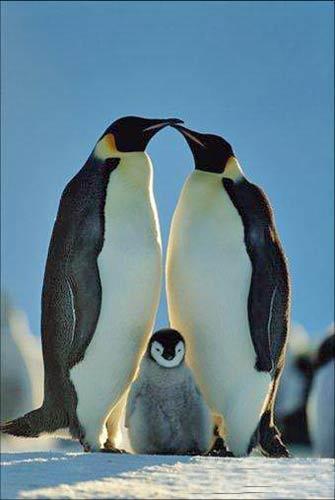 壁纸 动物 企鹅 335_500 竖版 竖屏 手机