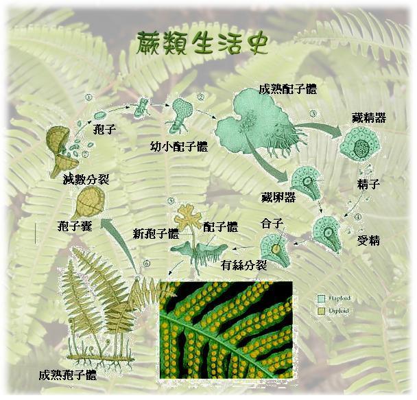 地球上的优质煤基本上是由石炭纪大型蕨类植物形成的.