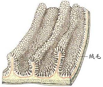 小肠切片简图手绘