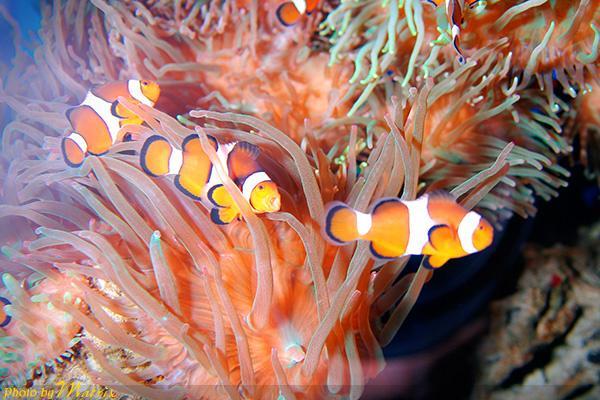 彩铅手绘动物-海葵鱼