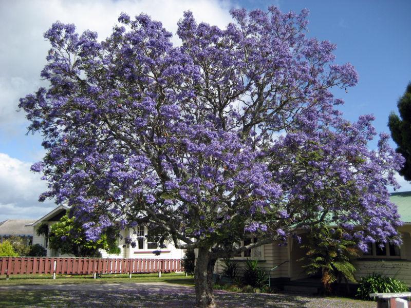 a mimosifoliaJacaranda Mimosifolia Flowers