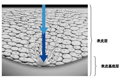 足细胞超微结构