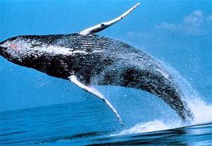 驼背鲸_驼背鲸 - 搜搜百科