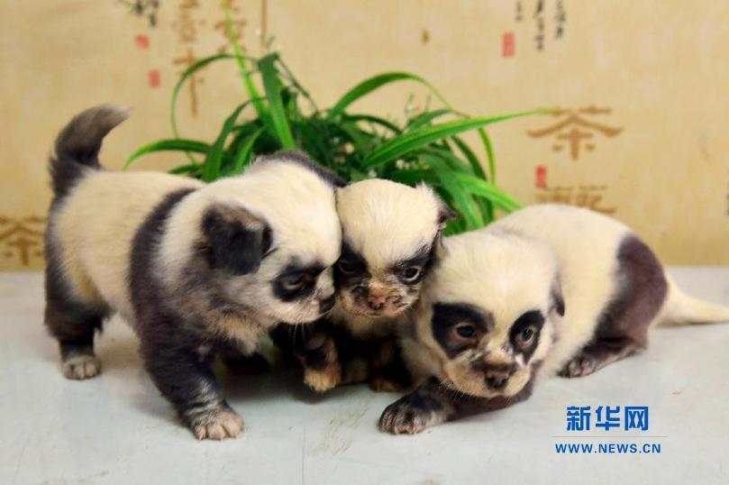 """全部版本 最新版本  """"熊猫犬""""因像而名,白底黑花,眼和耳为黑色,为知名"""