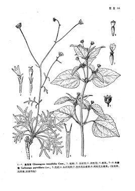 鹿角草属属于菊科,都是