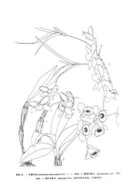复方鲜石斛手绘pop图