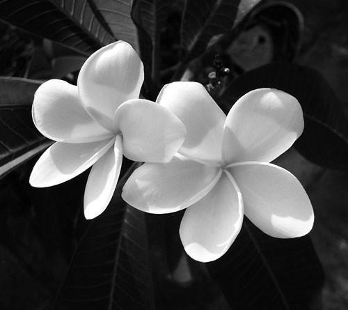 双生花(植物) - 搜狗百科