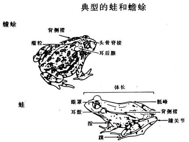 蟾蜍雕刻步骤和画法