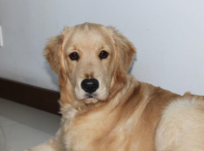 5个月金毛犬图片_大型犬 - 搜狗百科