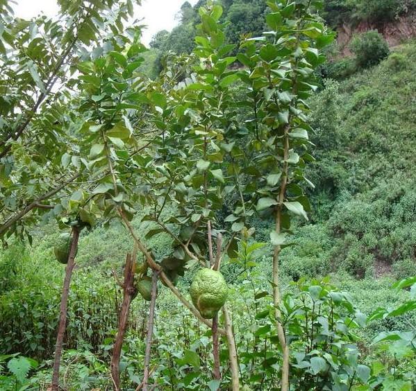 香橼(植物)