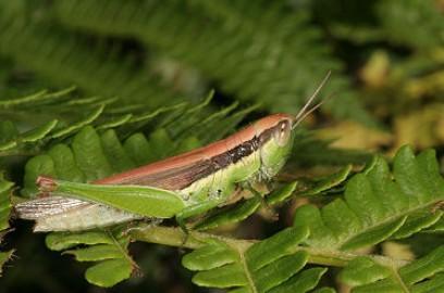 蝗虫腹部结构图