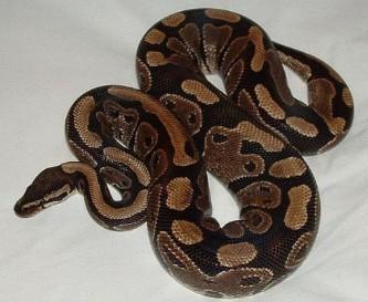 缅甸蟒,球蟒,红尾蚺,绿树蟒,血蟒,网纹蟒这几种蛇哪种图片