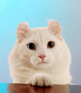 美国卷耳猫 搜百科