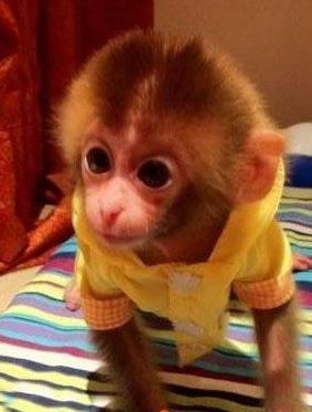 是猴类中长相和生活习性与人类最接近的品种,它属杂食动物,喜爱水果