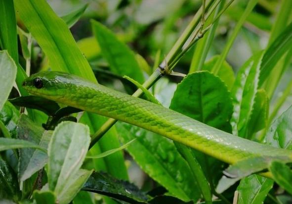 爪印像竹叶的动物