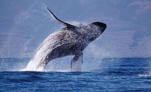 壁纸 动物 海洋动物 鲸鱼 桌面 488_299