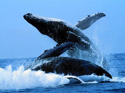 驼背鲸_驼背鲸