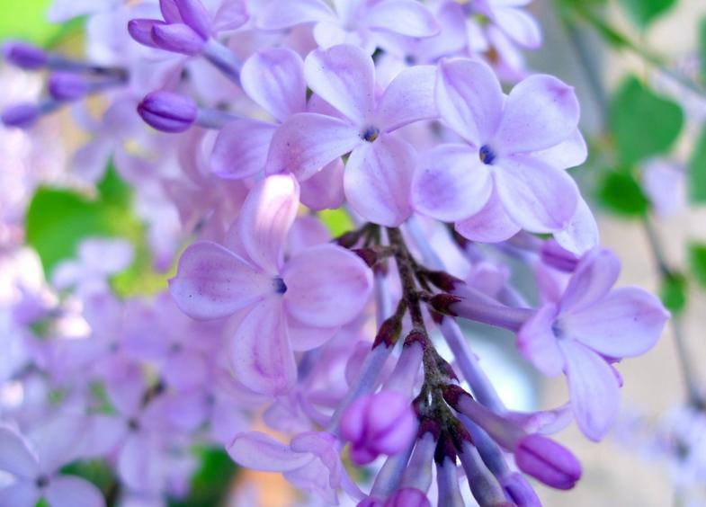 紫靳手绘图