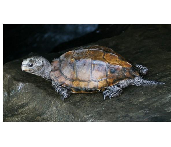 大头龟,鹰嘴龟