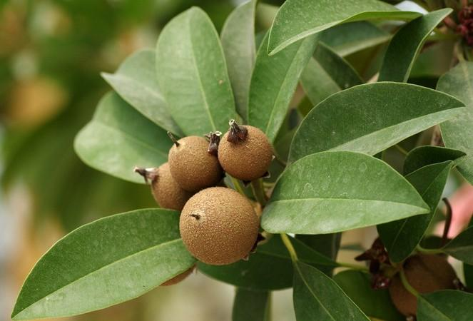 人心果施用有机肥的方法